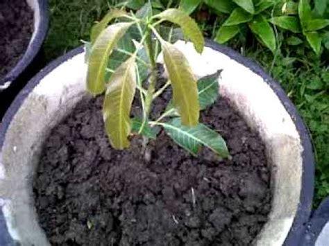 Bertanam Mangga bertanam buah durian lengkeng dan mangga di pot