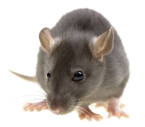 long island rodent control rats mice kane exterminating
