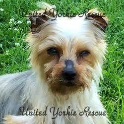 yorkie rescue milwaukee united yorkie rescue a 501 c 3 non profit terrier rescue organization