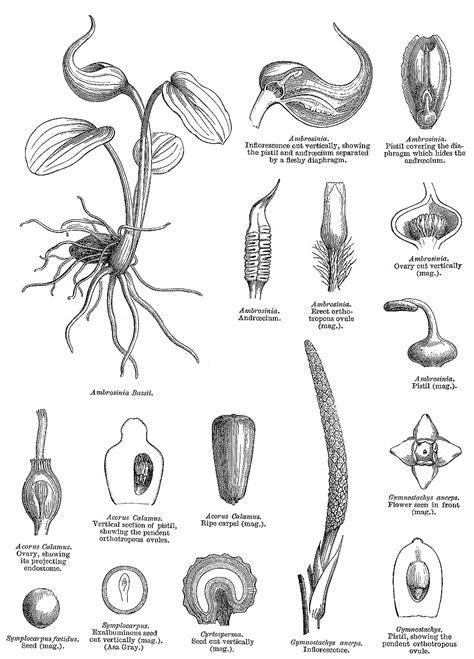 Angiosperm families - Araceae Juss.