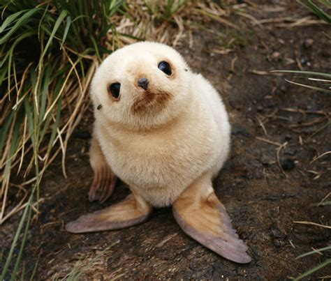 baby seal pup baby seal pup on the snow and