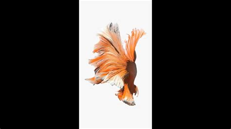 live wallpaper ios 9 orange fish