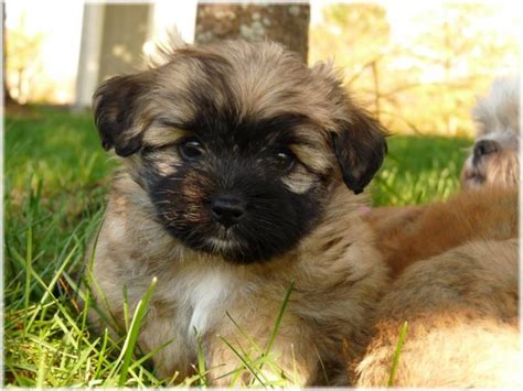 shih tzu puppies for sale scotia shih tzu pomeranian puppies pom shi or shiranian for sale in hammonds plains