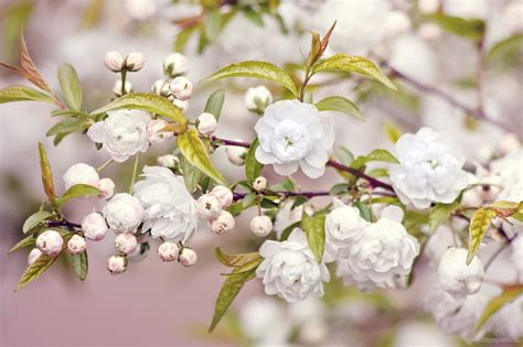hd themes of flowers white flowers wallpaper windows themes cute