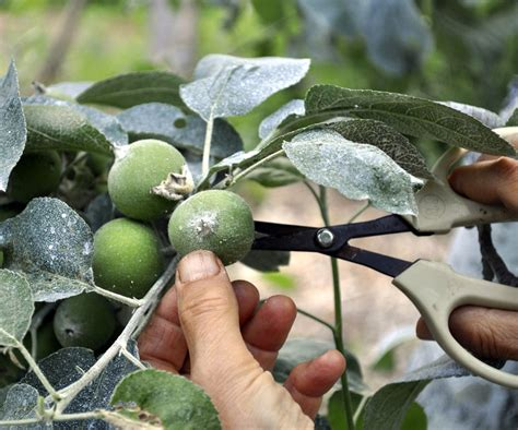 thinning fruit on apple trees thin fruit trees for a plentiful harvest athens