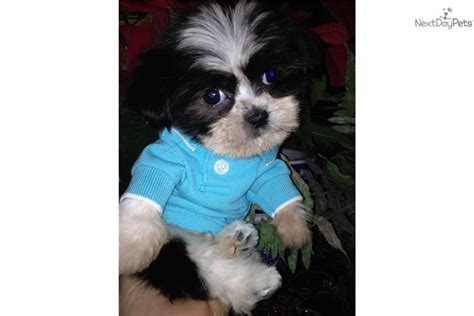 shih tzu puppies for sale near me shih tzu puppy for sale near dallas fort worth 1dda42a8 f351