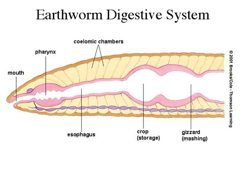 earthworm dissection digestive system earthworm digestive system diagram images how to guide and refrence