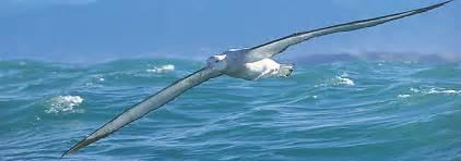 Largest Ship In The World albatross encounter kaikoura information on great albatross