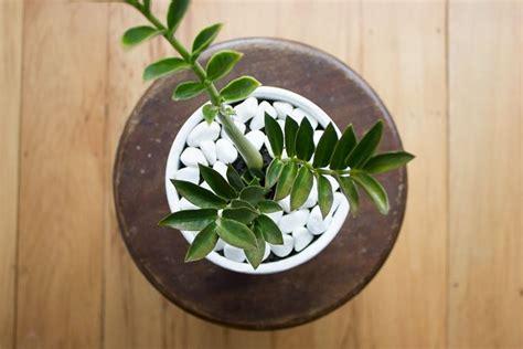 piante acquatiche da appartamento pianta zamioculcas piante appartamento caratteristiche