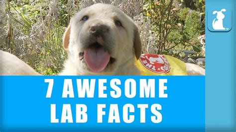 7 Awesome Facts by 7 Awesome Labrador Facts