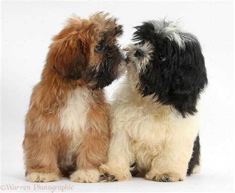 brown and black shih tzu dogs brown and black and white shih tzu puppies photo wp38225