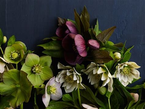 hellebores how to grow care for hellebore flowers