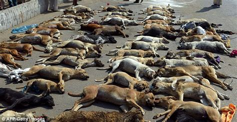stray meaning dozens of dogs killed in pakistan in response to rising numbers of strays daily mail