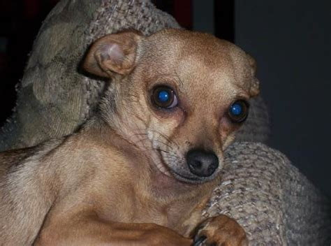 chiweenie pug chiweenie chihuahua dachshund hybrid looks almost identical to my