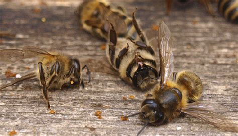 dead bees in house dead bees in house 28 images tens of millions of florida bees mysteriously drop