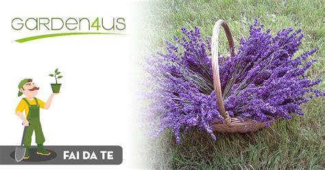 coltivare lavanda in vaso consigli per coltivare la lavanda in vaso garden4us