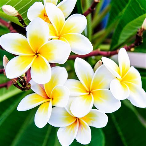 plumeria plant select yellow  whites fragrant potted