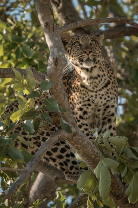 video flying leopard chases monkey  trees africa geographic