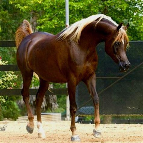 Tas Palomino Original Dary Brown chocolate palomino arabian mare horses