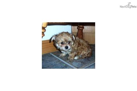 yorkie breeders in pittsburgh pa morkie pitt philly nyc md dc va black brown terrier for sale in