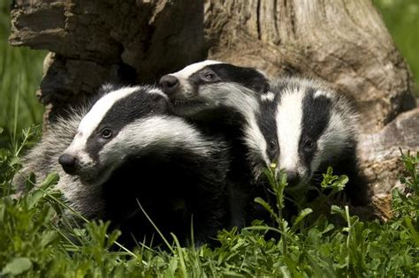 Cute Badgers   Olive's Animals
