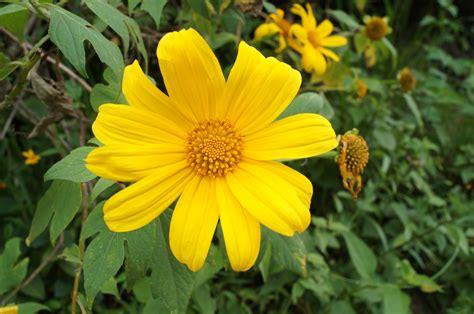 imagenes de flores amarillas file flor amarilla i jpg wikimedia commons