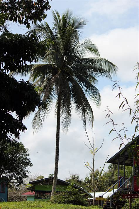 Uses Of The Coconut Palm by Uses Of Coconut Palm Tree K K Club 2017