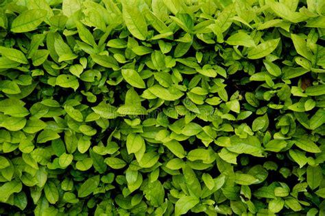 pattern bush leaf green green shrub wall natural texture background stock photo