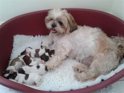 shih tzu x temperament bichon shih tzu temperament pictures to pin on pinsdaddy