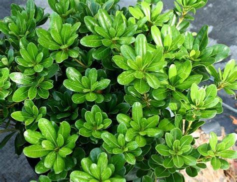 pitosforo in vaso pitosforo nano piante da giardino caratteristiche
