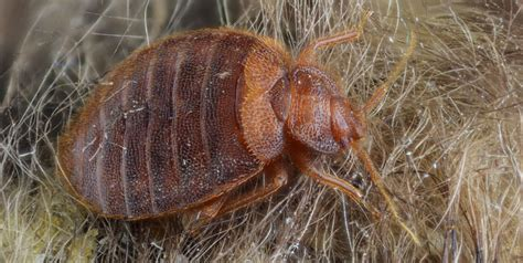 what diseases do bed bugs carry bed bug diseases 28 images bed bug diseases the new