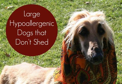 large hypoallergenic dogs  dont shed dog vills