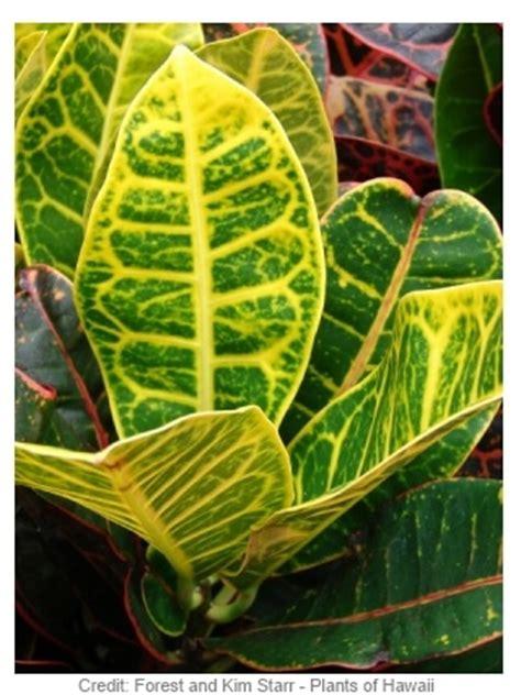 variegated croton codiaeum variegatum pictum