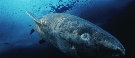 Greenland Sleeper Shark by Greenland Shark Eats A Polar Sleeper Shark Facts