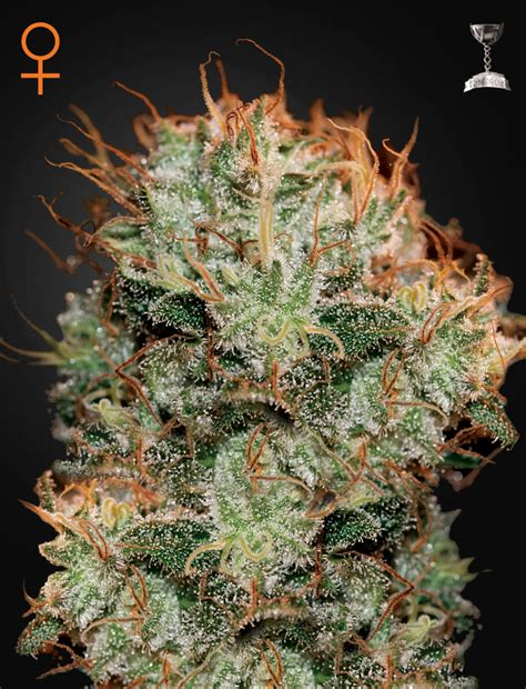 green house seed co kaia kush feminised by green house seed company amsterdam