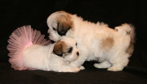 teddy puppies information shichon teddy shih tzu bichon mix info temperament puppies pictures