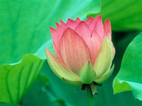 lotus flower flower picture lotus flower 3