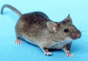 house mouse wikipedia