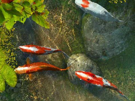 wallpaper bergerak koi facts around us koi carp fish colorful koi fish