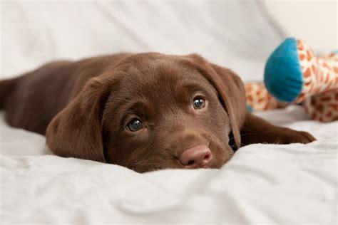 chocolate retriever puppy labrador retriever the small water breed answers