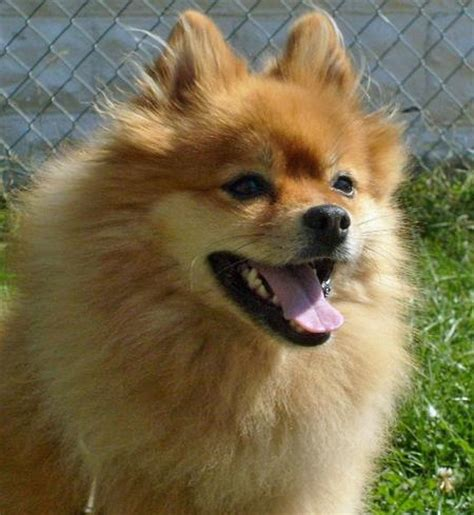 the pomeranian war courage the pomeranian dogs daily puppy
