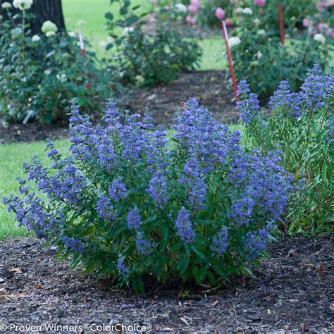 beyond midnight 174 bluebeard caryopteris x clandonensis proven winners