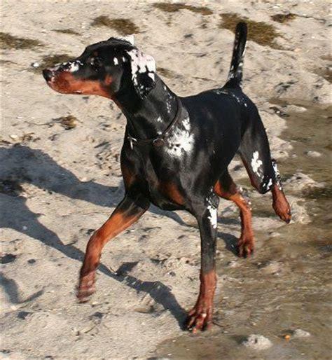 rottweiler with vitiligo vitiligo dobermann dogs tans the o jays and animals