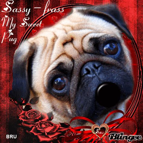 sassy pug gif sassy frass my sweet pug by bru picture 129798544 blingee