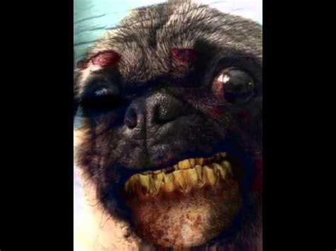 scared pug image gallery scary pug