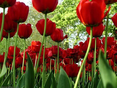 flores rojas fonditos flores rojas flores tulipanes plantas