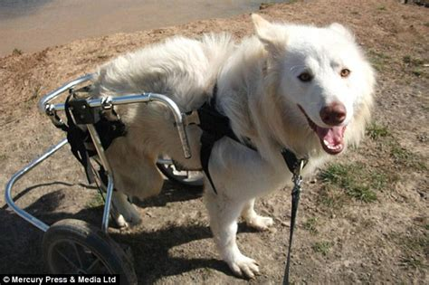 second set of for puppies disabled lucky is rescued from romania and given rear wheels to get around daily