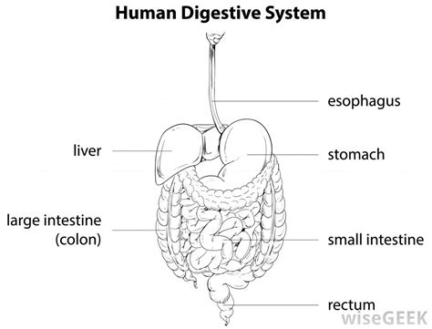 labeled digestive system diagram what are bezoars with pictures