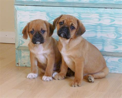 cavalier x pug pugalier puppies breeds picture