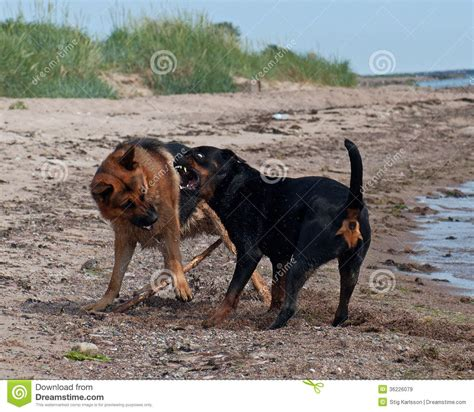 who is stronger pitbull or rottweiler rottweiler fighting breeds picture